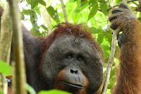 https://www.libretaviajera.com/2020/01/orangutanes-en-borneo.html