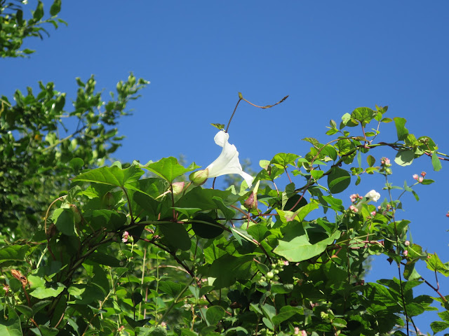 Convolvulus flower against blue sky plus some little pink flowers - don't know what they are.