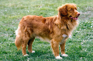 Everything about your Nova Scotia Duck Tolling Retriever