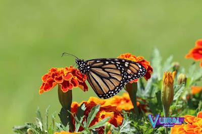 Contoh Simbiosis Mutualisme Bunga Dengan Kupu-Kupu