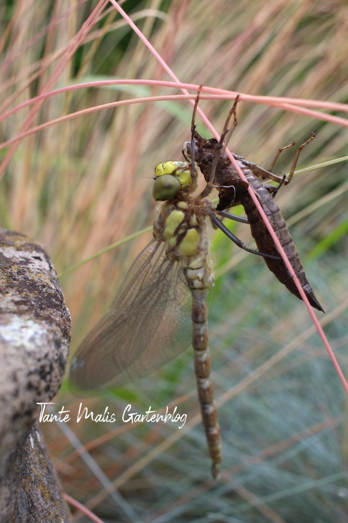 Libelle mit Larve
