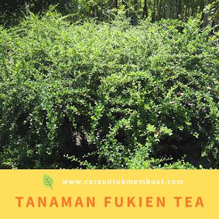 Tanaman Fukien Tea