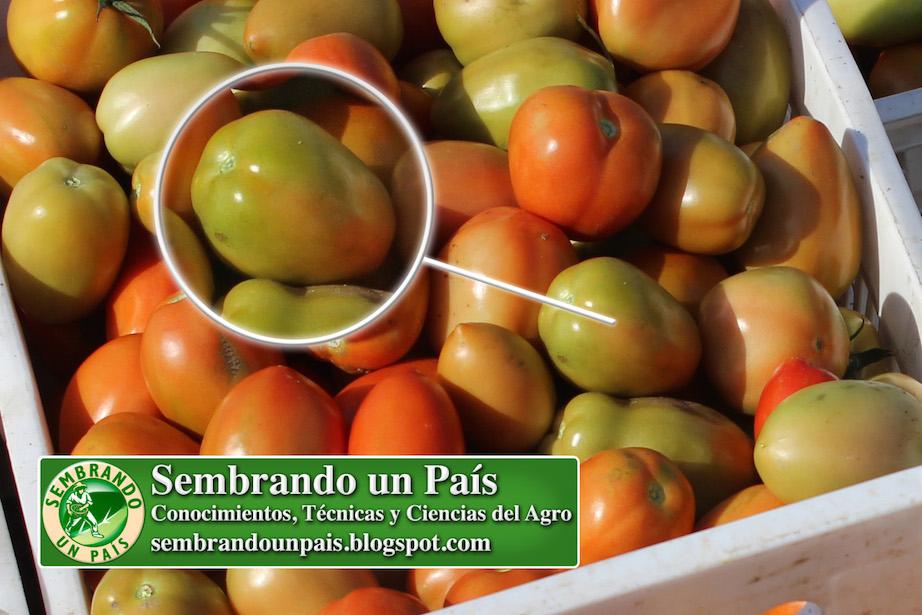 fruto de tomate pintón (con poca maduración)