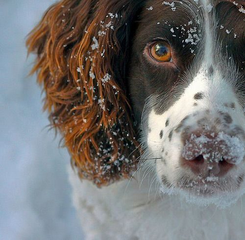 Beautiful winter scene with springer spaniel in snow