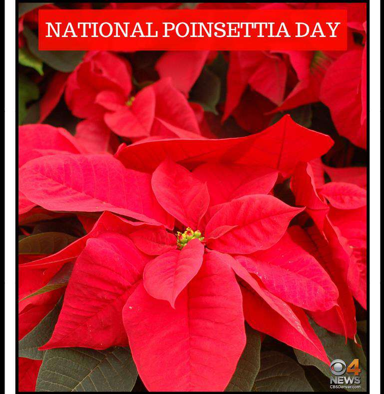 National Poinsettia Day Wishes For Facebook