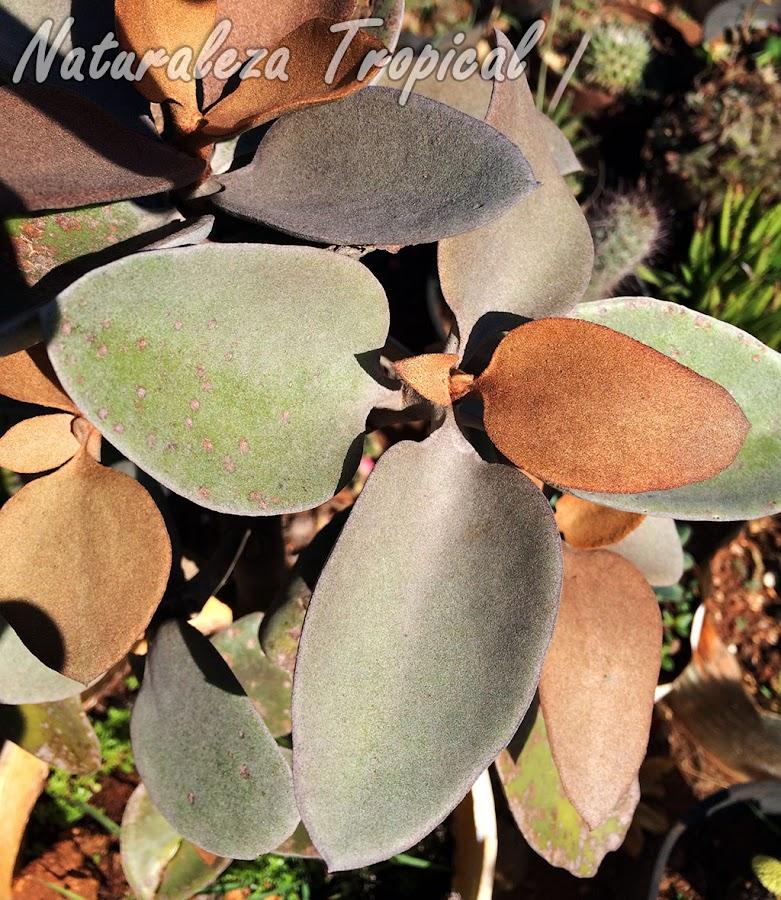 Detalles de las hojas de la planta Hojas de Cobre, Kalanchoe orgyalis