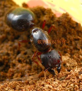 螞蟻特遣隊: 【心得】相鄰擬大頭家蟻(近緣巨首蟻)