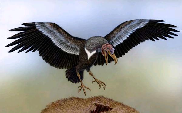 The aerodynamics of Argentavis, the world's largest flying bird