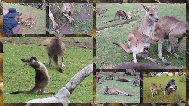 Bonorong Wildlife Park - Forrester Kangaroos with Joeys