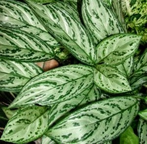 Chinese Evergreen Aglaonema crispum Air purifying plant