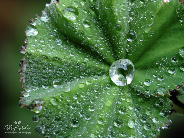Raindrops On Lady's Mantle (Alchemilla) 3 Photos