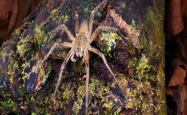 Laba-laba Pengembara Brasil