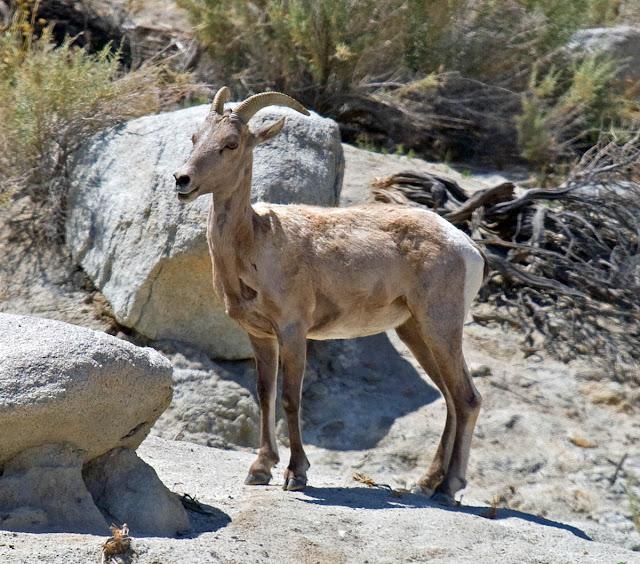 Desert Bighorn Sheep at Agua Caliente County Park