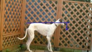 identificação de cães com displasia