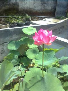 bibit-tanaman-bunga-lotus.jpg