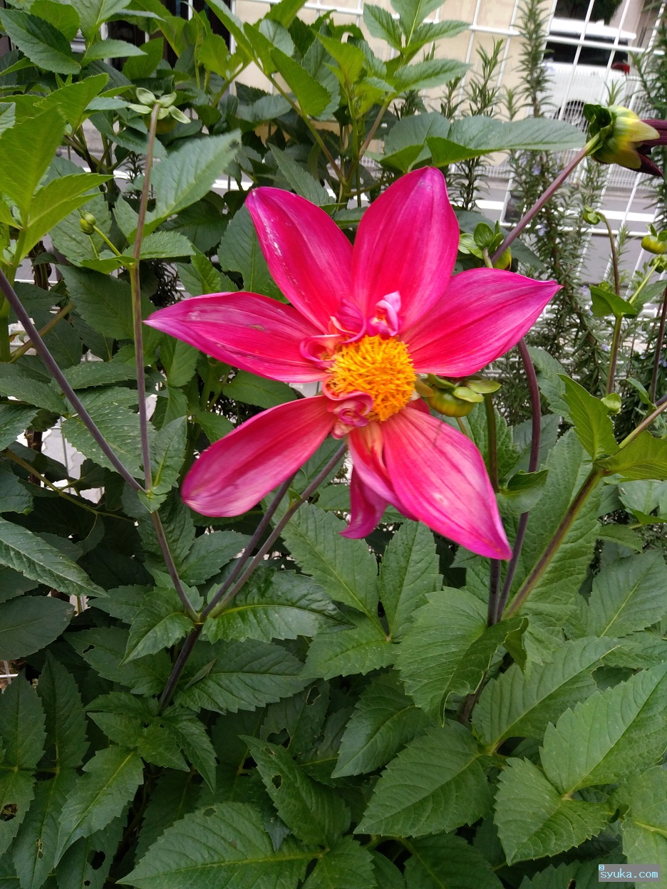 赤い大きな花