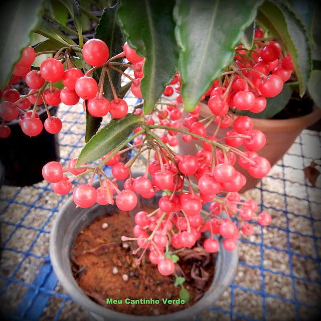 Planta frutinhos vermelhos