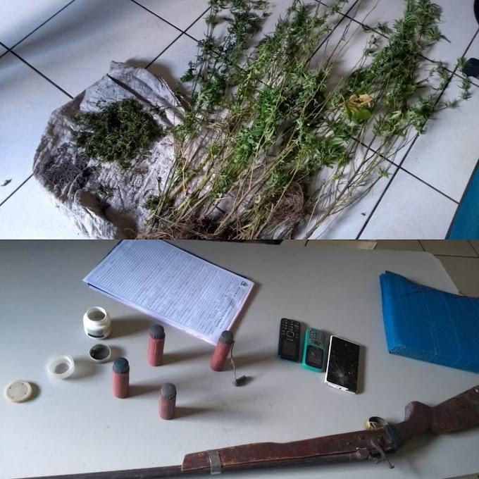 CAXIAS - Força Tática desarticula plantação de maconha na Zona Rural