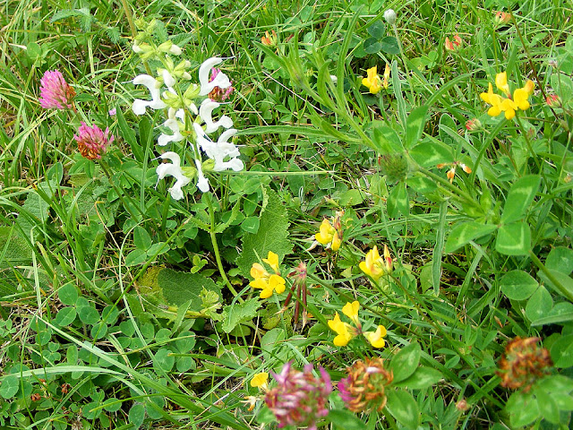 An unusual white form of Meadow Clary Salvia pratensis. Indre et Loire. France. Photo by Susan Walter.
