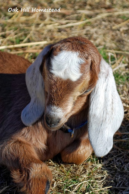 A brown and white dairy goat kid