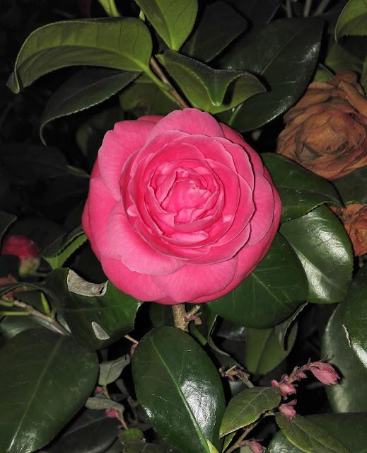 大きく咲いた椿