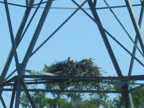 Wheeler National Wildlife Refuge osprey nest