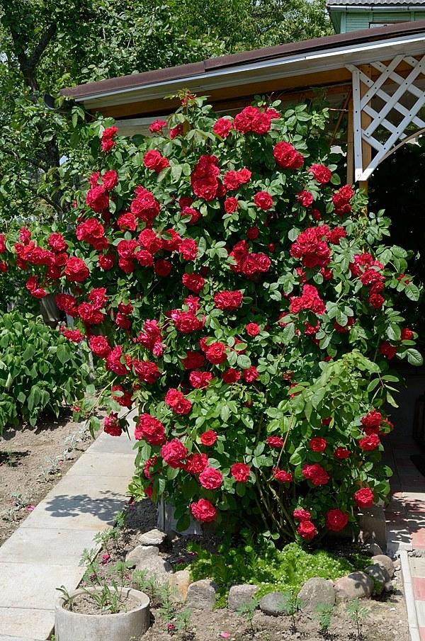 Flammentanz сорт розы фото Минск купить саженцы в питомнике