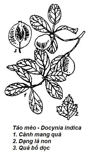Hình vẽ Táo mèo - Docynia indica - Nguyên liệu làm thuốc Chữa Bệnh Tiêu Hóa