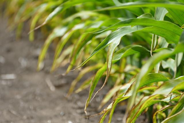 corn potassium deficiency fertilizer Minnesota