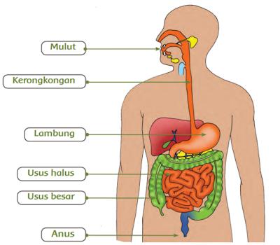 damaruta.com sistem pencernaan manusia
