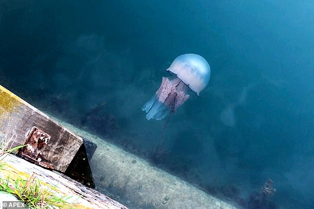 They grow to be the size of bin lids - Beast jellyfish which can develop to the size of dustbin covers attack harbor