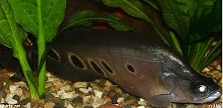 Ikan belida hewan noctural