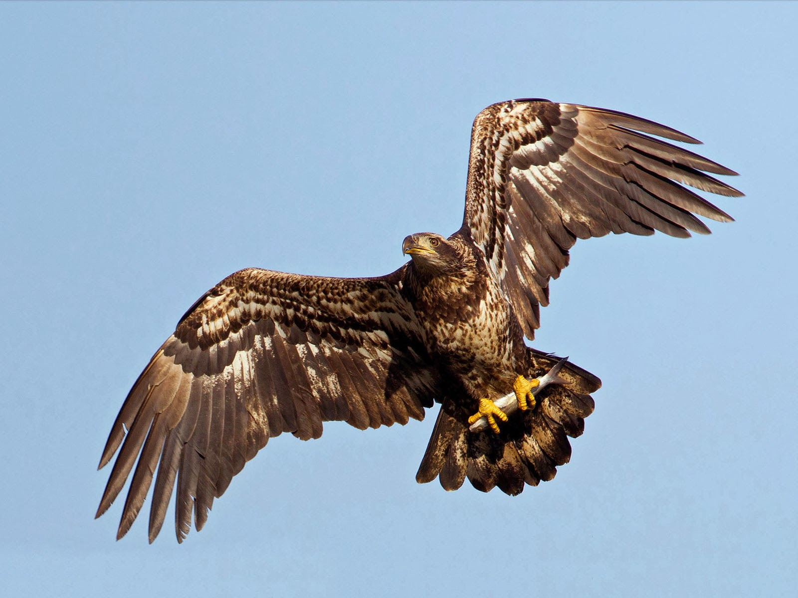 World Beautiful Cars Wallpapers Wallpapers Juvenile Bald Eagle Wallpapers