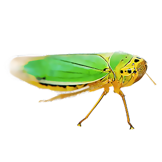 Leafhoppers In Your Lawn