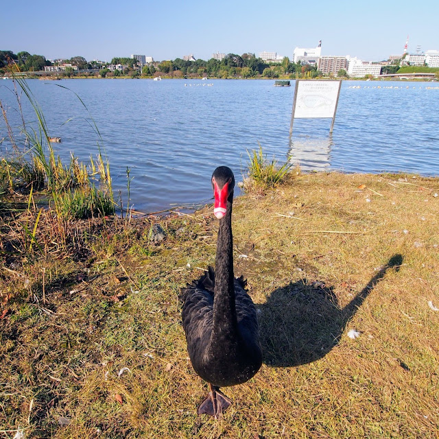 水戸 千波湖 黒鳥