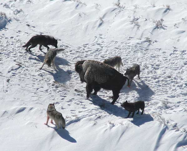 wilki polowanie