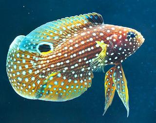 Cupang Laut