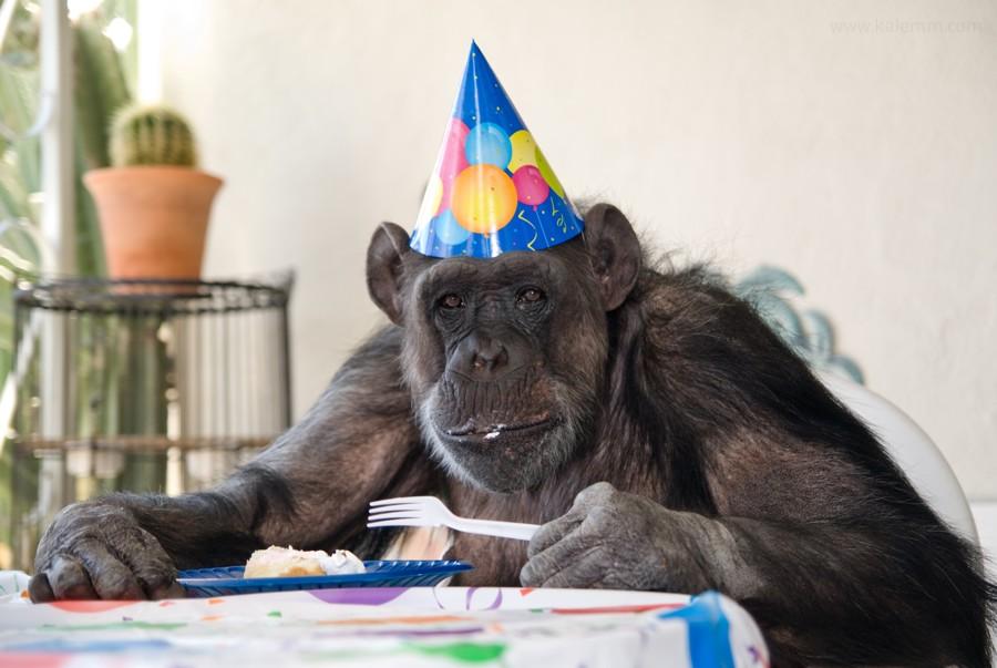 Birthday Cake Chimp Attack