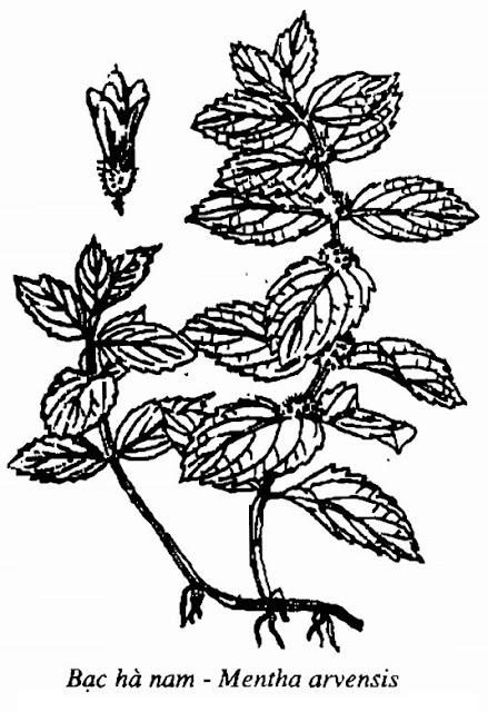 Hình vẽ Bạc Hà nam - Mentha arvensis - Nguyên liệu làm thuốc Chữa Cảm Sốt