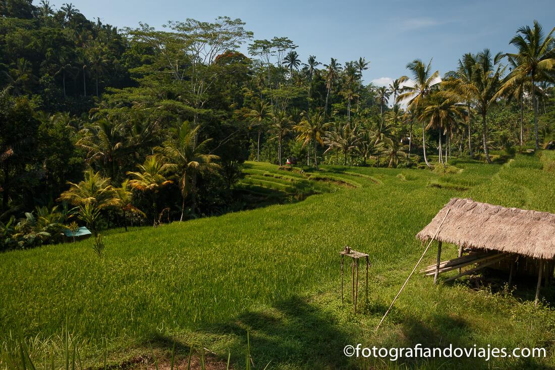 arrozales en Pura Gunung Kawi en Bali