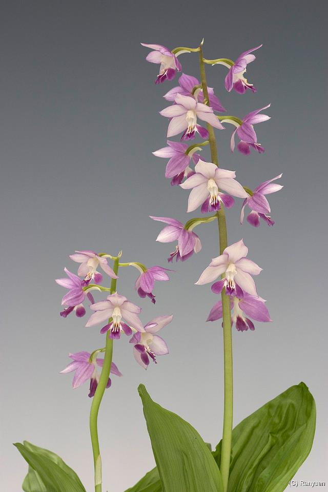Orchid Gardens: Spring Calanthe: Japanese Calanthe