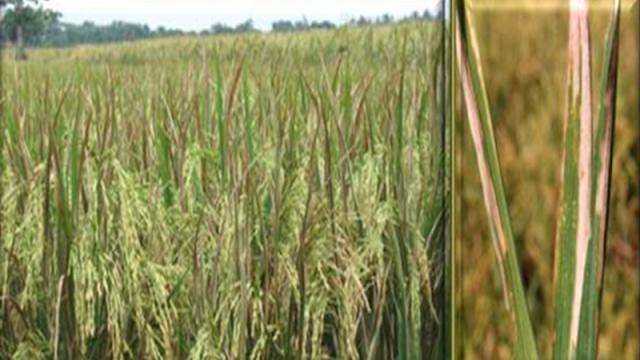 Penyakit hawar daun bakteri (HDB) merupakan salah satu penyakit padi utama yang tersebar di berbagai ekosistem padi di negara-negara penghasil padi, termasuk di Indonesia.