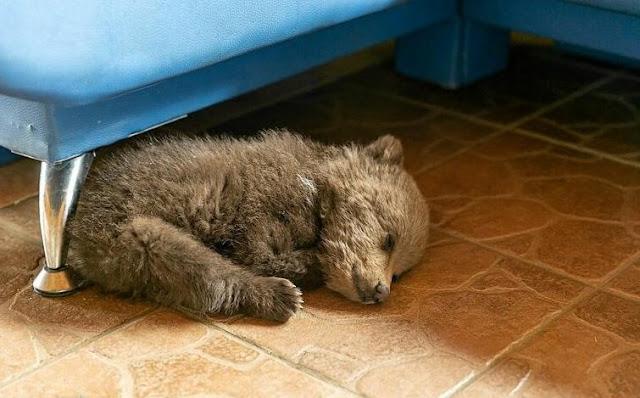 В Белоруссии фермер спас голодного медвежонка. Маму малыша так и не удалось найти