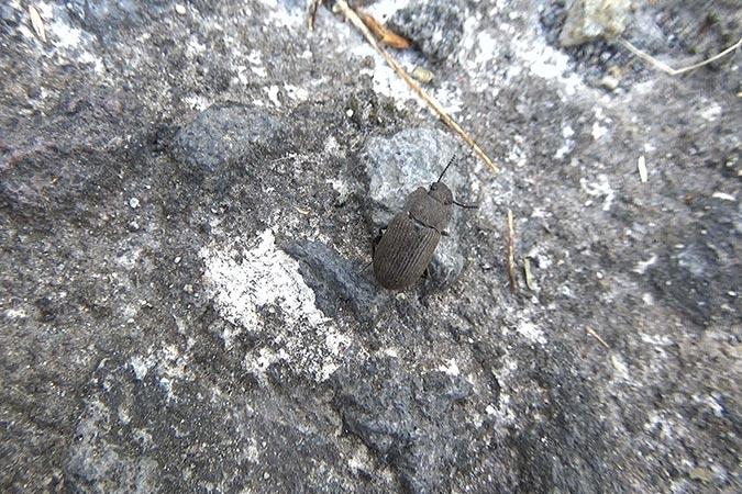 Dlium Bindi beetle (Bindi bindi)