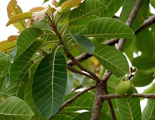 foto atau gambar Tanaman Mahua (Madhuca longifolia J. Konig J.F. Macbr.)