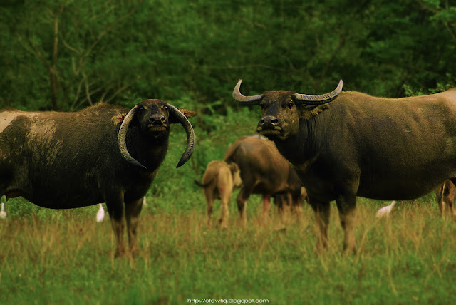 The picture of two buffalo. I shoot this picture somewhere in Batu Gajah, Perak, Malaysia.