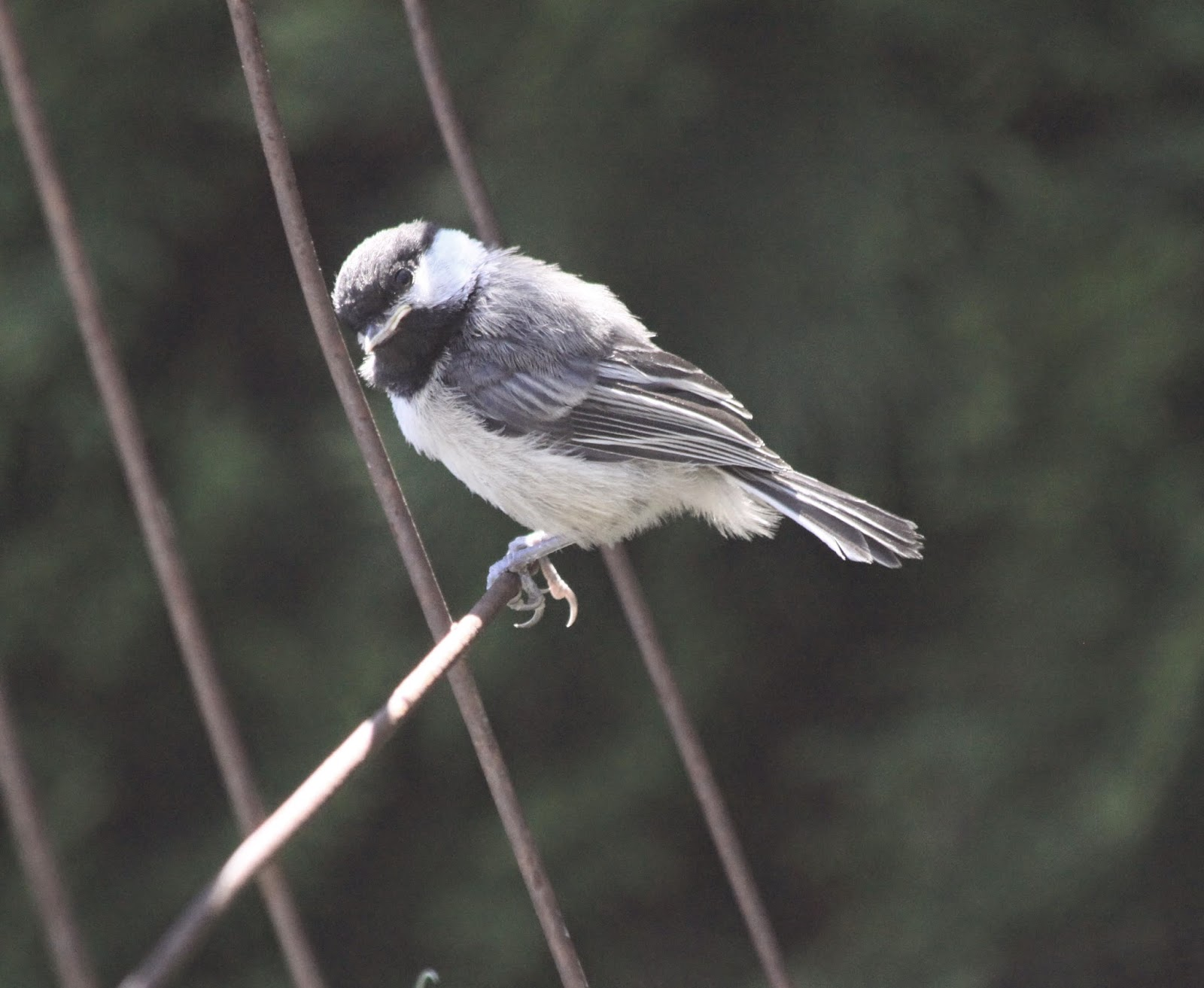 Chickadee Attracting birds