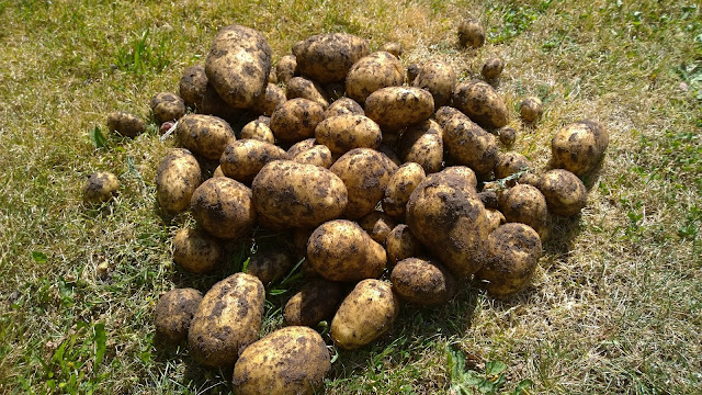 Kartoffel Bionica (c) by Joachim Wenk