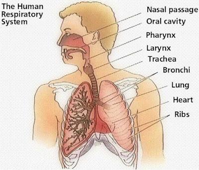 Pengertian pernafasan dan alat pernafasan manusia