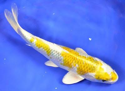 Ikan Koi Hariwake